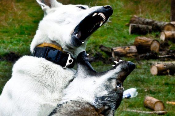 Les loups - Mythe Alpha, Principes de leadership des loups