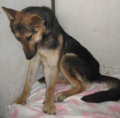 Image de Tya, berger allemand, comment on a trouvé maltraité