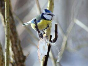 Image de oiseaux Mésange charbonnière - Nichoirs - Maison du Loup