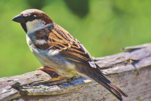 Image of House sparrow | Birdhause - Maison du Loup