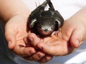Obrázok dažďovníka obyčajného na stránke vtáčia búdka pre dažďovníka, výrobca Maison du Loup.